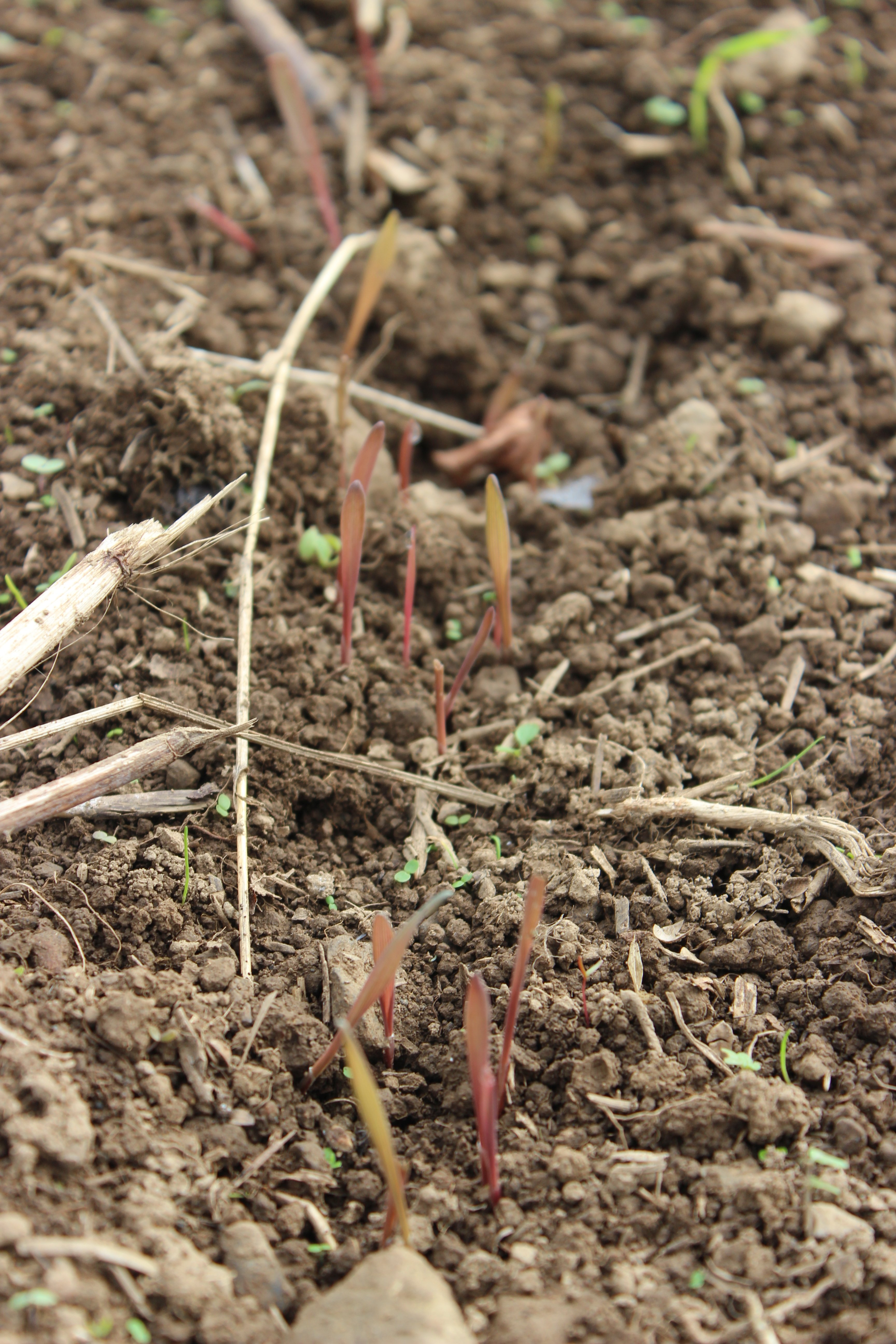 sprouting rye