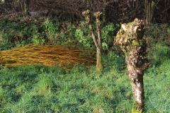 pollard willows_cut willow