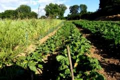 veg rows_landscape