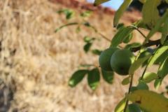 walnuts_thatch