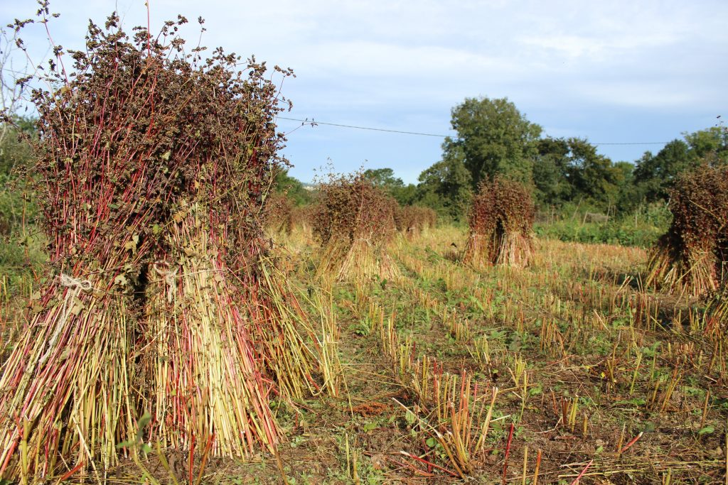 Buckwheat is cut, made into bundles and left to dry for a week or so in the field, before being threshed.