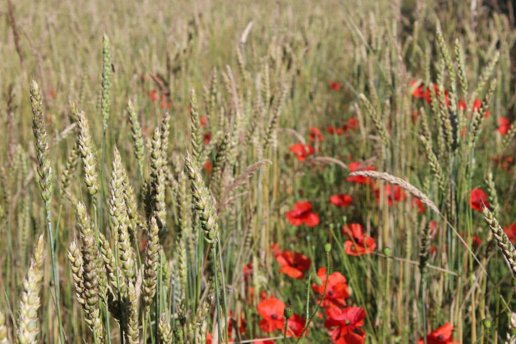 A more tradtitional variety of wheat, maris wigeon, grows alongside poppies.