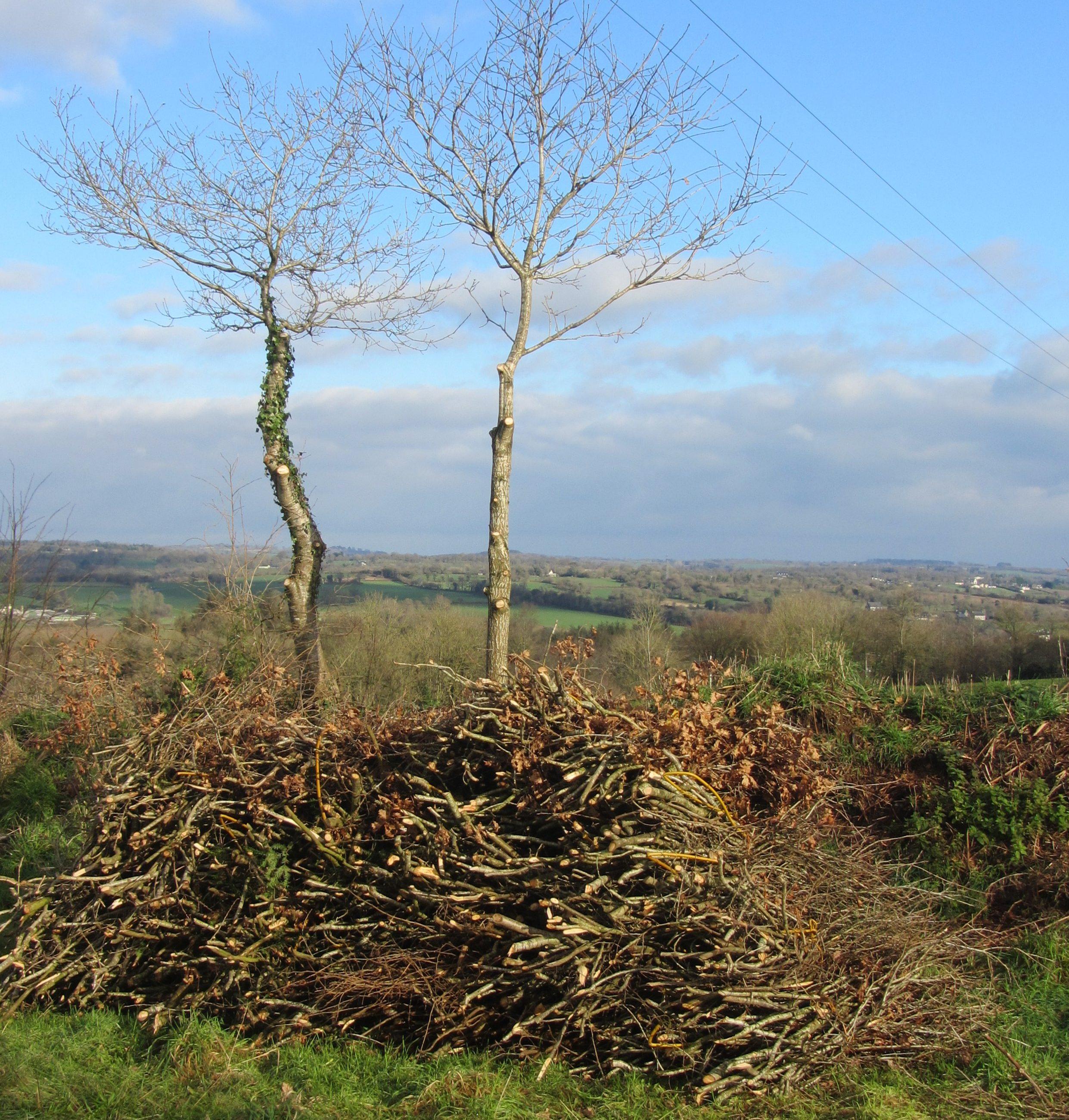 Shredding Oak Trees