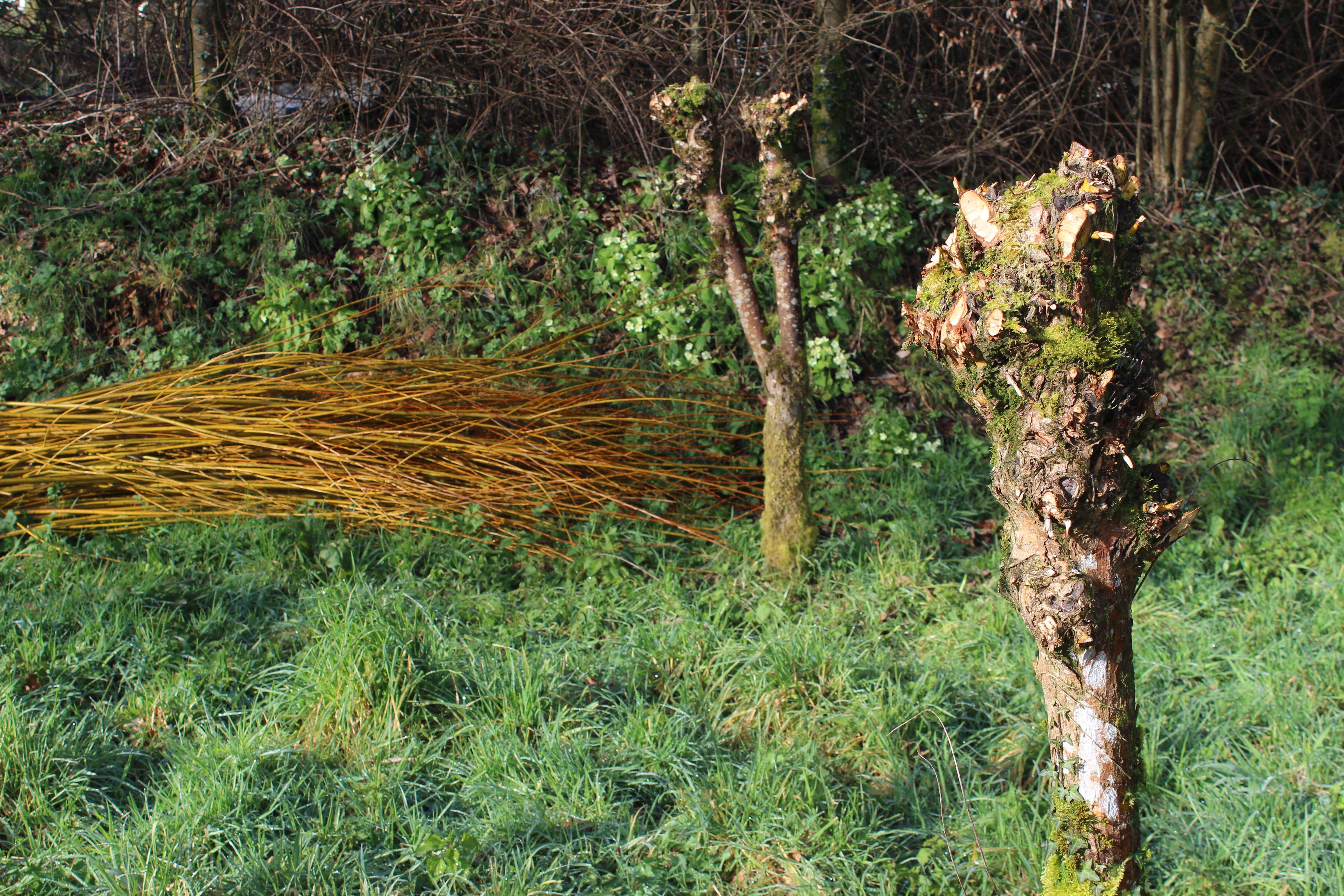pollard willows_cut willow