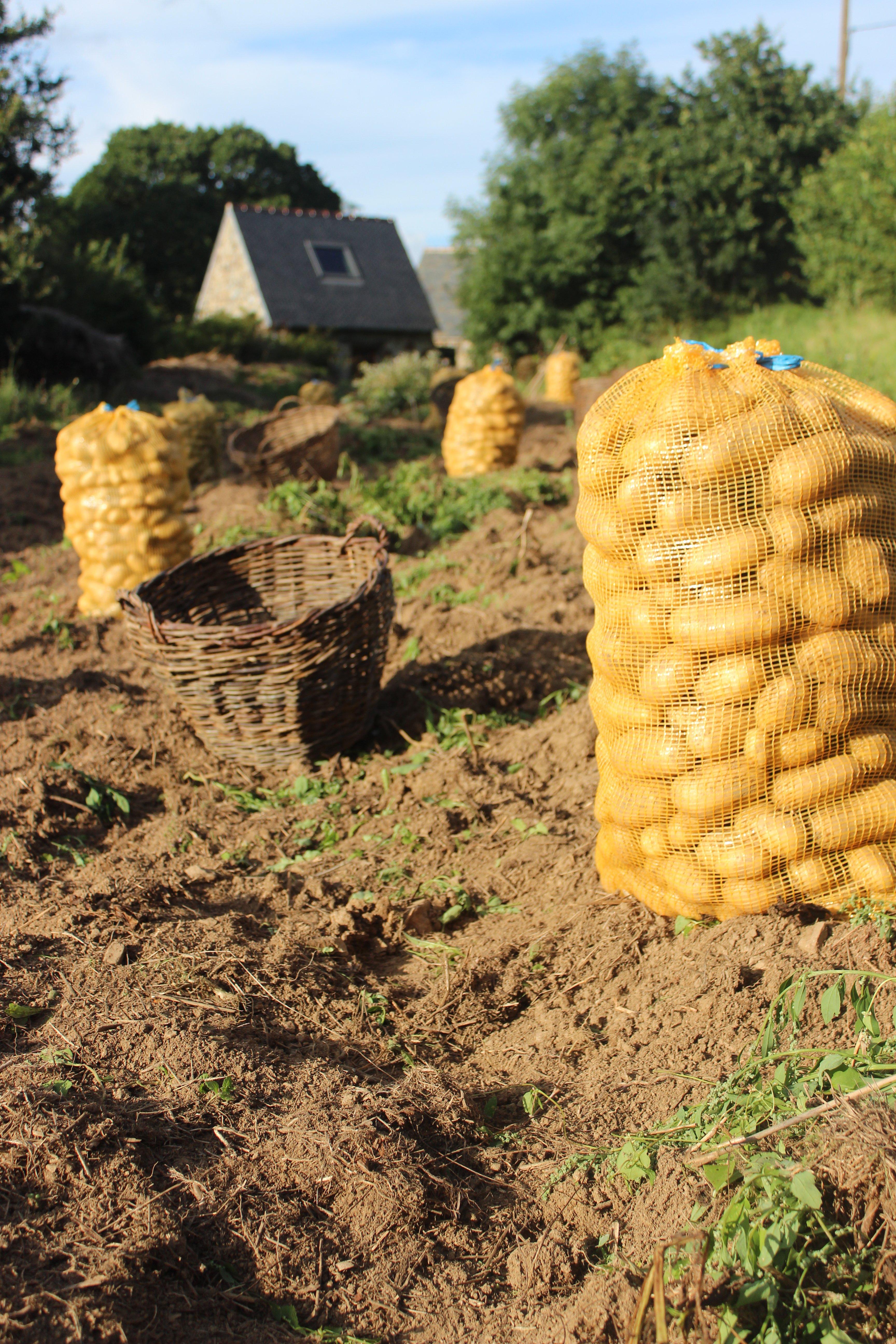 potato havest_ptrt