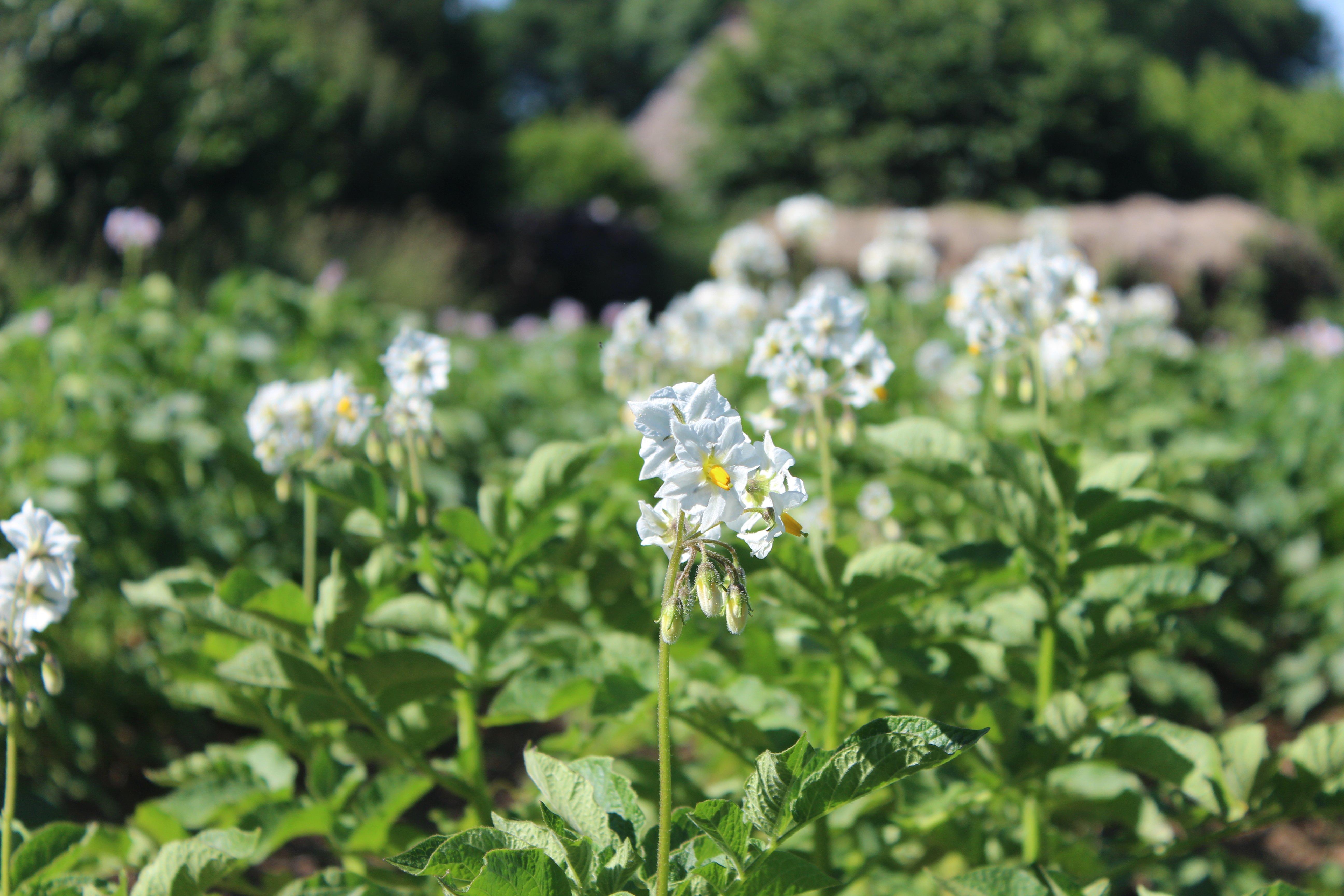potatoes_flowers