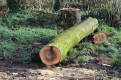 cut ash trunk