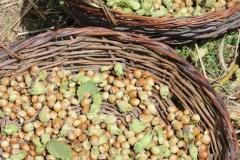 hazelnuts drying