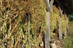 peas drying2
