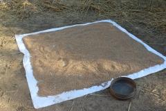 wheat drying in sun