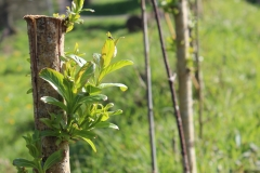 willow_sprouting